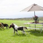 Miniature Horses - Ohana Ranch of Maui
