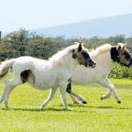 History of Miniature Horses